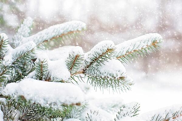 snow-in-pine-tree-1265119_640